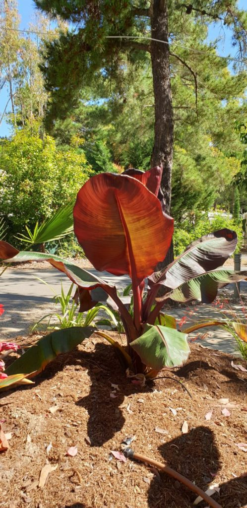 Abessijnse bananenboom