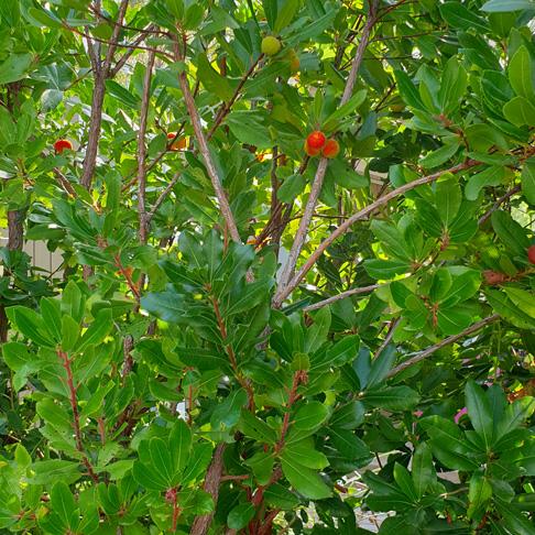 Aardbeienboom