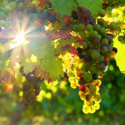 De wijngaarden van La Londe, het vakmanschap van de wijnboeren uit de Provence